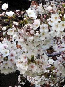るんるん桜